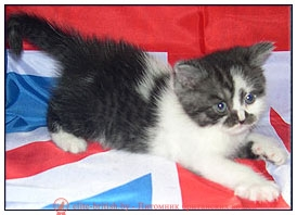 биколор британская кошка, кот британский биколор, британский котенок биколор, голубой биколор британец, биколор британец, британские котята биколор фото, британцы биколор фото британские кошки дымчатые, дымчатые британцы, британский дымчатый кот, британская кошка дымчатого окраса, британец дымчатый фото