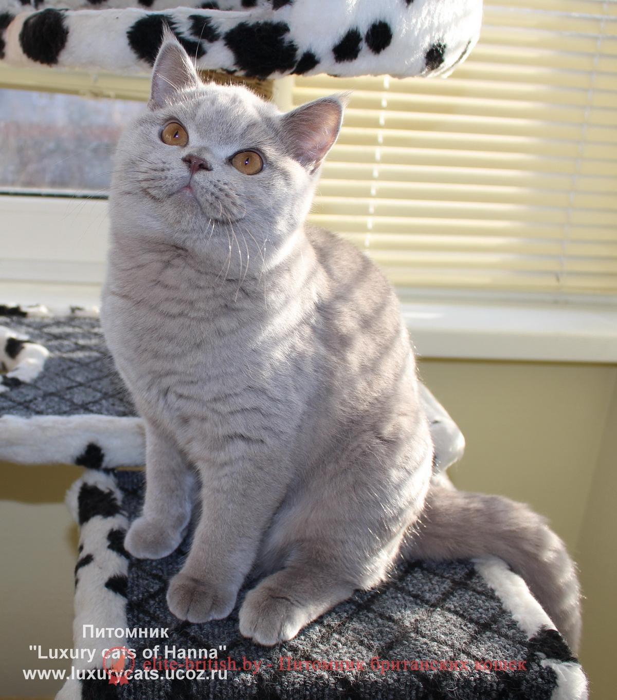 Британец лиловый, британский лиловый кот, кошка: фото лилового окраса. Фото лиловых британцев лиловый британец, фото лиловых британцев, британец лиловый фото, британский лиловый котенок, фото лиловых британских котят, британские котята фото лиловые, британские коты лилового окраса фото, британская кошка фото лиловая, фото лиловой британской кошки, британские котята лилового окраса фото, лиловая британская кошка, британские котята лилового окраса, британский лиловый кот фото, лиловый британский кот, лиловый окрас британских кошек фото, кот британец лиловый фото, британец лилового цвета, лиловый окрас британских кошек, британцы лилового окраса, британец лилового окраса фото, лиловый цвет британских кошек, британские котята лилового цвета, лиловый цвет британских кошек, британские котята лилового цвета, британская короткошерстная кошка лиловая, котята британцы лиловые фото, лиловые британцы котята, британцы коты лиловые, британский кот лилового окраса, британская кошка лилового окраса фото, британские котята лилового окраса фото, британцы лилового окраса фото, британский кот лилового окраса фото