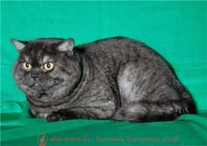 британец черный дым, британский кот черный дым, британские котята черный дым, черный дым британская кошка фото, британцы черный дым фото, кошка британская черный дым, ританские котята окрас черный дым, британские котята черный дым фото, британские кошки дымчатые, дымчатые британцы, британский дымчатый кот, британская кошка дымчатого окраса, британец дымчатый фото