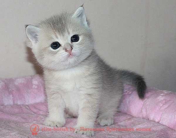 Британский кот золото