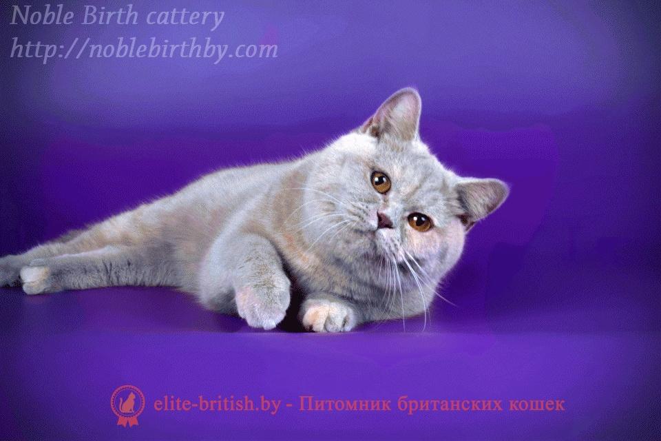 британские котята черепахового окраса фото, черепаховый окрас британской кошки фото, черепаховый британец, британская черепаховая кошка фото, британцы черепахового окраса фото, кошки британские черепахового окраса, черепаховый британский кот, британские коты черепахового окраса, британская черепаховая кошка, британские черепаховые котята, британские котята черепахового окраса, британцы черепаховый окрас, черепаховые британцы фото, британские кошки черепахового окраса, британцы черепахового окраса, британская кошка черепаховый окрас фото, котята британские черепаховый окрас, британец черепахового окраса фото, британские котята черепахового окраса фото, британская кошка черепаший окрас, британский кот черепахового окраса, Лилово-кремовый (лиловый) черепаховый окрас британских кошек Британцы лилового черепахового окраса цвета, Британские кошки лиловые черепахи фото