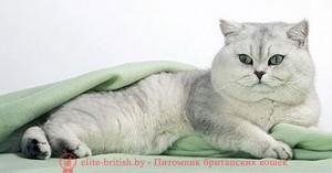 британский кот серебристый, серебристый британец фото, серебристые британцы, британские серебристые котята, затушеванный британец, серебристый затушеванный британец, кошки британские серебристые, британская короткошерстная окраса серебро