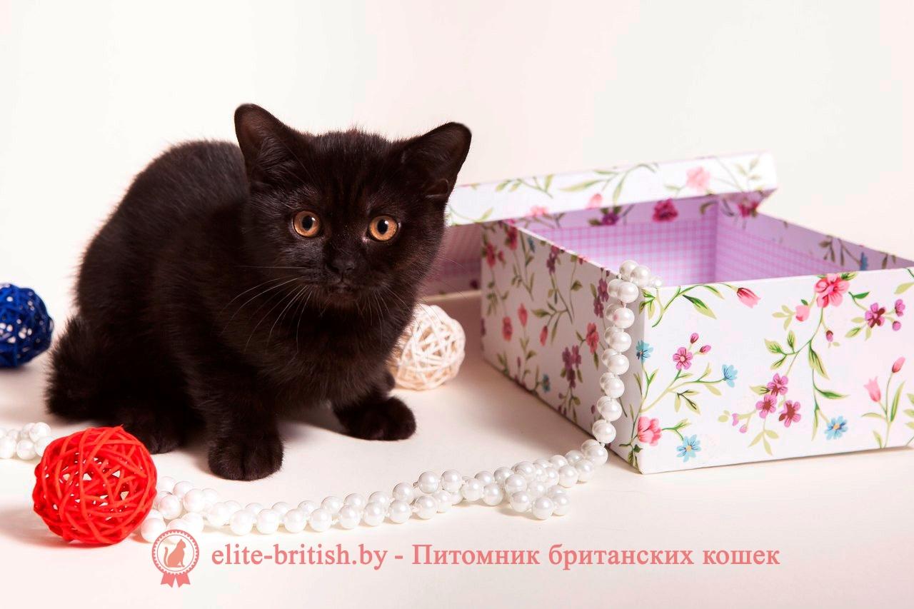 Британский короткошерстный котенок черного окраса