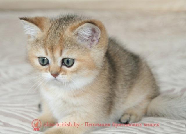 Когда у британских котят меняется цвет глаз