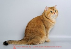 золотой британский кот, золотые британцы фото, золотой британец, британская кошка золотая шиншилла, британский кот шиншилла золотая, золотой тикированный британец, британец золотая шиншилла, британец золотистый, котята британские окрас золотая шиншилла, британская кошка золотая шиншилла фото, британец окрас золотая шиншилла фото, британский золотой котенок, британская золотая кошка, британские котята золотая шиншилла, британский золотистый кот, кот золотой британец, британцы окрас золотой, британцы окрас золотая шиншилла, котята британцы золотая шиншилла, золотистые британские котята, британские котята золотого окраса, британцы золотая шиншилла фото, золотой окрас британских кошек, британцы золотого окраса, британские котята золотого окраса, британец окрас золотая шиншилла, британские котята окраса золотая шиншилла, питомник британских кошек золотых окрасов, британец окрас золотая шиншилла фото