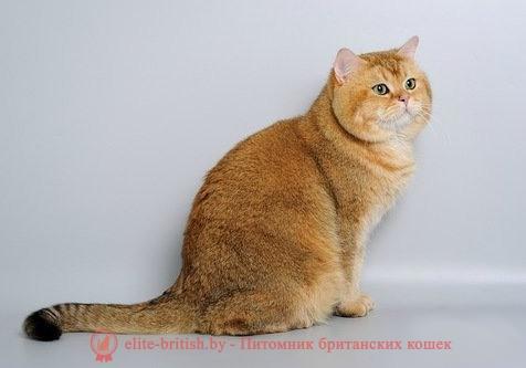 Британские золотистые коты