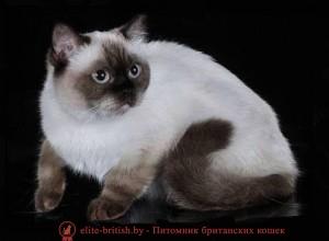 котята поинт, британские котята ...