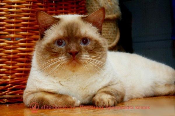 британский кот циннамон поинт, британец колор поинт, британская кошка поинт колор, ританский кот поинт, британские котята поинт, британские котята циннамон поинт, британские котята колор поинт, циннамон поинт британец, британцы лилак поинт, британец поинт, британские котята сил поинт, британские кошки циннамон поинт, британские котята окраса циннамон поинт, британец циннамон поинт фото, британец колор поинт фото, британская кошка колор поинт фото, циннамон пойнт британские кошки, британские кошки колор пойнт, циннамон пойнт британские котята, циннамон пойнт британцы, колор пойнт британец, кот британский колор пойнт, британские котята колор пойнт