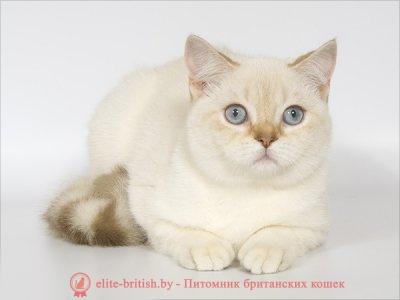 британский кот фавн поинт, британец колор поинт, британская кошка поинт колор, британский кот поинт, британские котята поинт, британские котята фавн поинт, британские котята колор поинт, фавн поинт британец, британцы фавн поинт, британец поинт, британские котята сил поинт, британские кошки фавн поинт, британские котята окраса фавн поинт, британец фавн поинт фото, британец колор поинт фото, британская кошка колор поинт фото, фавн пойнт британские кошки, британские кошки колор пойнт, фавн пойнт британские котята, фавн пойнт британцы, колор пойнт британец, кот британский колор пойнт, британские котята колор пойнт