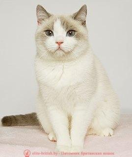 британский кот блю поинт, британец колор поинт, британская кошка поинт колор, ританский кот поинт, британские котята поинт, британские котята блю поинт, ританские котята колор поинт, блю поинт британец, британцы лилак поинт, британец поинт, британские котята сил поинт, британские кошки блю поинт, британские котята окраса блю поинт, британец блю поинт фото, британец колор поинт фото, британская кошка колор поинт фото, блю пойнт британские кошки, британские кошки колор пойнт, блю пойнт британские котята, блю пойнт британцы, колор пойнт британец, кот британский колор пойнт, британские котята колор пойнт, биколор британская кошка, кот британский биколор, британский котенок биколор, голубой биколор британец, биколор британец, британские котята биколор фото, британцы биколор фото