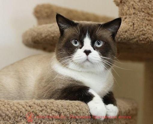 британский кот колор пойнт фото