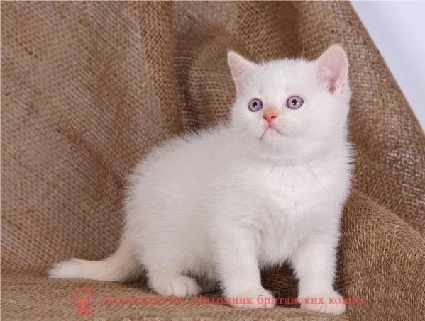 Красный-пойнт окрасы британских кошек: фото, стандарт ...: http://elite-british.by/krasnyj-pojnt/