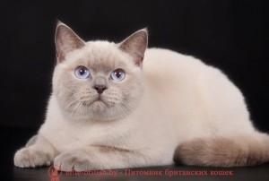 британский кот лиловый поинт, британец колор поинт, британская кошка поинт колор, ританский кот поинт, британские котята поинт, британские котята лиловый поинт, британские котята колор поинт, лиловый поинт британец, британцы лилак поинт, британец поинт, британские котята сил поинт, британские кошки лиловый поинт, британские котята окраса лиловый поинт, британец лиловый поинт фото, британец колор поинт фото, британская кошка колор поинт фото, лиловый пойнт британские кошки, британские кошки колор пойнт, лиловый пойнт британские котята, лиловый пойнт британцы, колор пойнт британец, кот британский колор пойнт, британские котята колор пойнт
