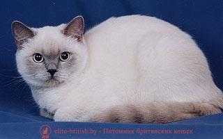 Поинт британский кот