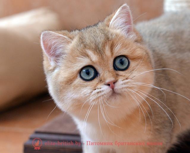 Окрасы кошек  Википедия