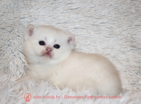 британский кот серебристый, серебристый британец фото, серебристые британцы, британские серебристые котята, тикированный британец, серебристый тикированный британец, кошки британские серебристые, британская короткошерстная окраса серебро