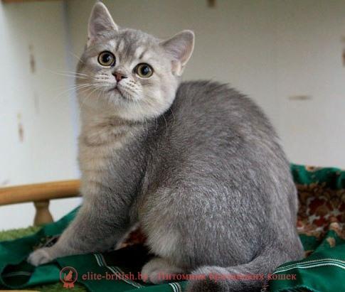 британский кот серебристый, серебристый британец фото, серебристые британцы, британские серебристые котята, тикированный британец, серебристый тикированный британец, кошки британские серебристые, британская короткошерстная окраса сереброт