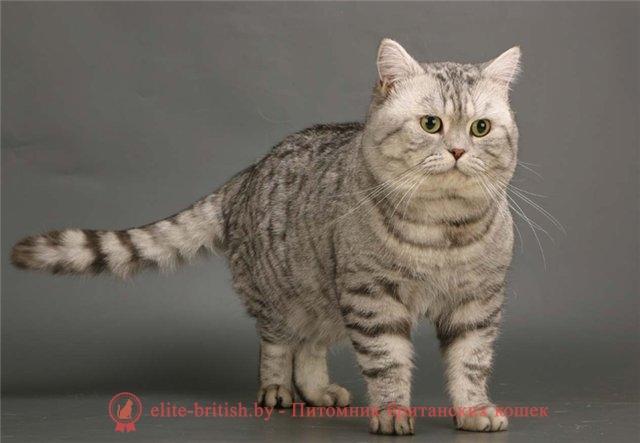 полосатый британец кот фото