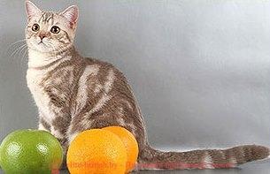 Кошка шиншилла фото это не порода это изящная