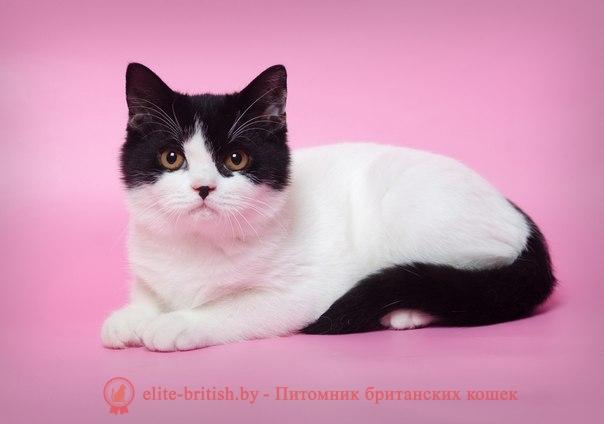 Коты с черно белым окрасом