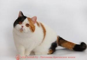 британские котята биколор фото, кот британский биколор, биколор британская кошка, британский котенок биколор, голубой биколор британец, британцы биколор фото, биколор британец, британец ван, британец арлекин, британец миттед, черно белый британский кот, кот британец черно белый, черно белые британцы. черно белый британец