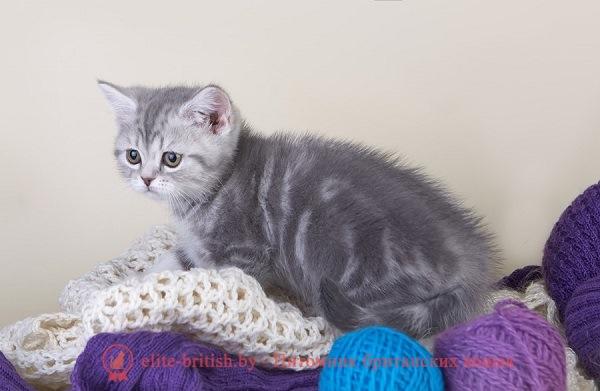 Все окрасы шотландских кошек фото и описание