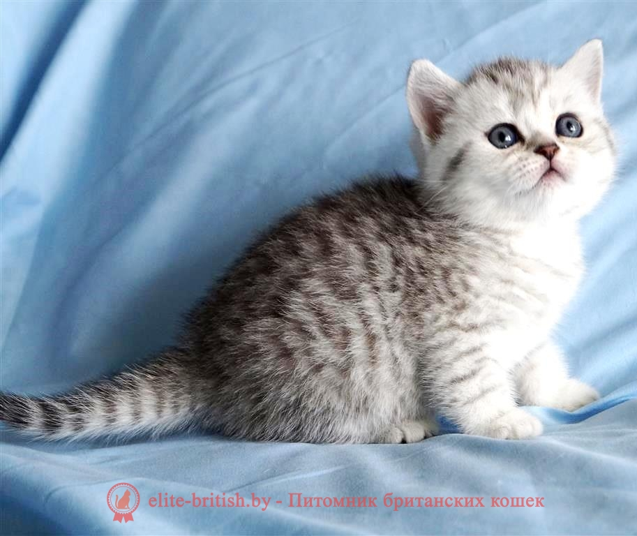 британские котята табби, британские кошки табби, короткошерстная британская кошка серебристый табби, табби британец, британцы серебристый табби, британские коты табби, британские котята браун табби, британец табби тигровый, британская короткошерстная кошка табби, британская кошка серебристый табби, окрасы британских кошек табби, британские котята окраса табби, британец окрас табби, фото британских котят табби, британские коты табби фото, табби британец фото, британская кошка табби фото, британская кошка окрас табби фото, британцы окраса вискас, британцы вискас фото, котенок британец вискас, британец вискасного окраса, британская кошка вискас, окрас вискас британских кошек, британская кошка фото вискас, британская кошка окрас вискас фото, британские котята вискас купить, британские котята цвета вискас, вислоухий британец вискас, британец окрас вискас фото, британский кот вискас, британский котенок вискас, британские котята окрас вискас купить, британец вискас купить, британец кот вискас, вискасный британец, коты британцы вискас фото, британцы цвета вискас, британский кот серебристый, серебристый британец фото, серебристые британцы, британские серебристые котята, британская пятнистая кошка, кот британский пятнистый