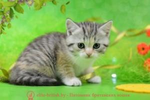 британские котята табби, британские кошки табби, короткошерстная британская кошка серебристый табби, табби британец, британцы серебристый табби, британские коты табби, британские котята браун табби, британец табби тигровый, британская короткошерстная кошка табби, британская кошка серебристый табби, окрасы британских кошек табби, британские котята окраса табби, британец окрас табби, фото британских котят табби, британские коты табби фото, табби британец фото, британская кошка табби фото, британская кошка окрас табби фото, британцы окраса вискас, британцы вискас фото, котенок британец вискас, британец вискасного окраса, британская кошка вискас, окрас вискас британских кошек, британская кошка фото вискас, британская кошка окрас вискас фото, британские котята вискас купить, британские котята цвета вискас, вислоухий британец вискас, британец окрас вискас фото, британский кот вискас, британский котенок вискас, британские котята окрас вискас купить, британец вискас купить, британец кот вискас, вискасный британец, коты британцы вискас фото, британцы цвета вискас, британский кот серебристый, серебристый британец фото, серебристые британцы, британские серебристые котята, британская полосатая короткошерстная кошка, британский котенок полосатый, полосатые британцы, британские полосатые кошки, полосатые британские коты, полосатые британцы котята, британец кот полосатый, кошки британцы полосатые, британский полосатый кот фото, британские полосатые котята фото, котята британцы фото полосатые, полосатые британцы фото, фото британцев котов полосатых