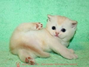 Кремовый серебристый тикированный кот