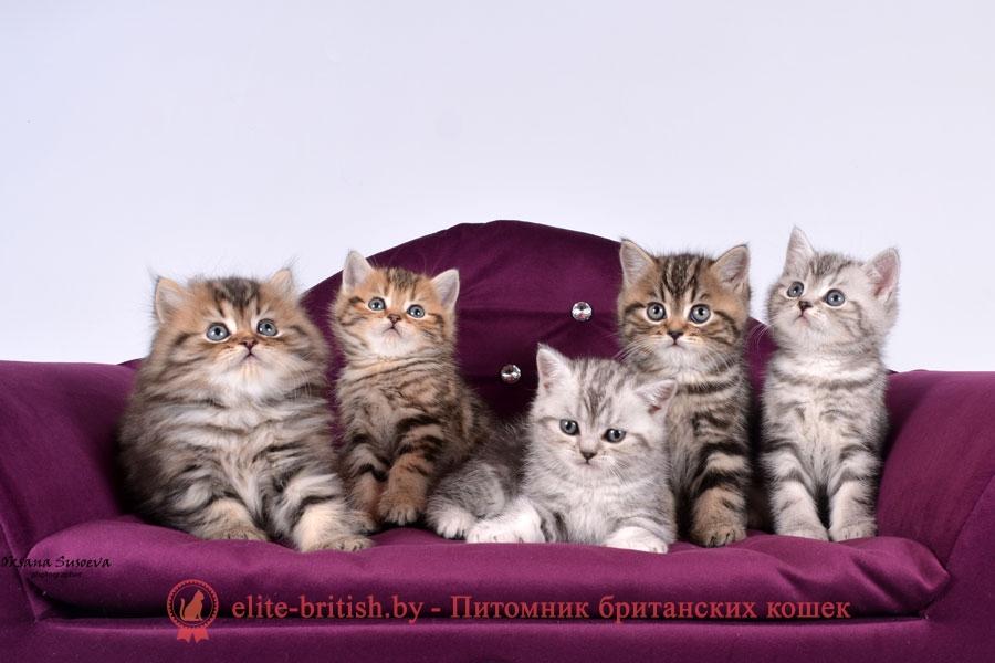 британские котята табби, британские кошки табби, короткошерстная британская кошка серебристый табби, табби британец, британцы серебристый табби, британские коты табби, британские котята браун табби, британец табби тигровый, британская короткошерстная кошка табби, британская кошка серебристый табби, окрасы британских кошек табби, британские котята окраса табби, британец окрас табби, фото британских котят табби, британские коты табби фото, табби британец фото, британская кошка табби фото, британская кошка окрас табби фото