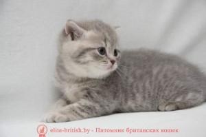 британская пятнистая кошка голубая