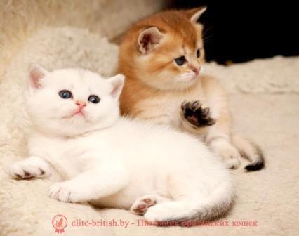 Бенгальская кошка фото цена окрасы видео характер