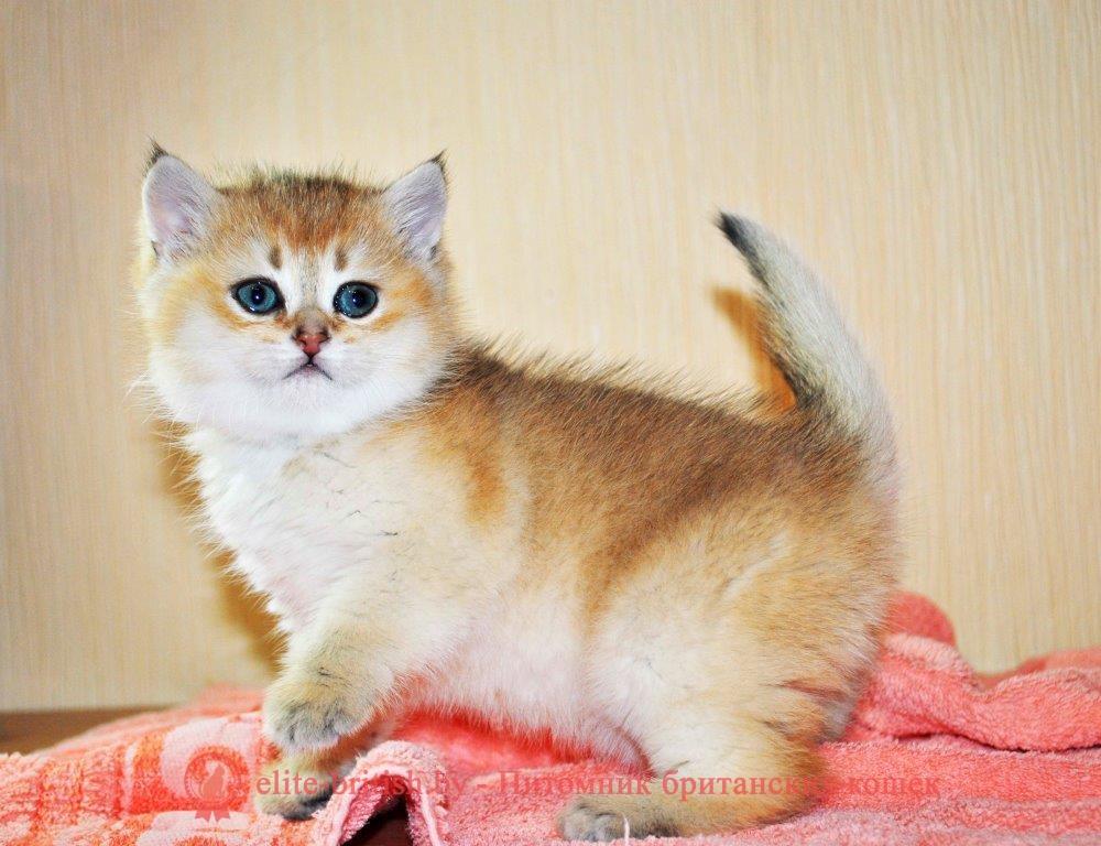Вязать серебристую кошку