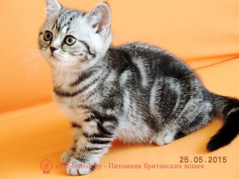 Британский котенок табби фото