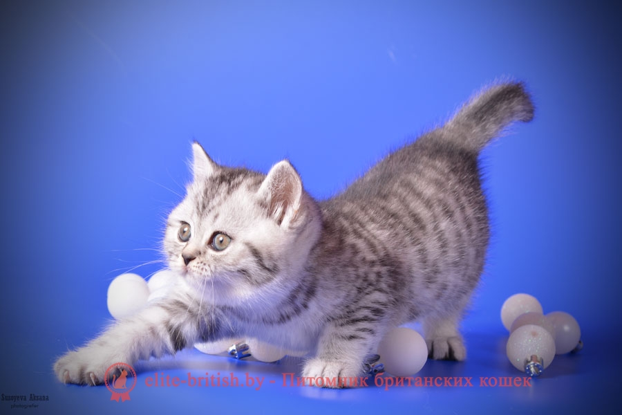 порода котов британец фото