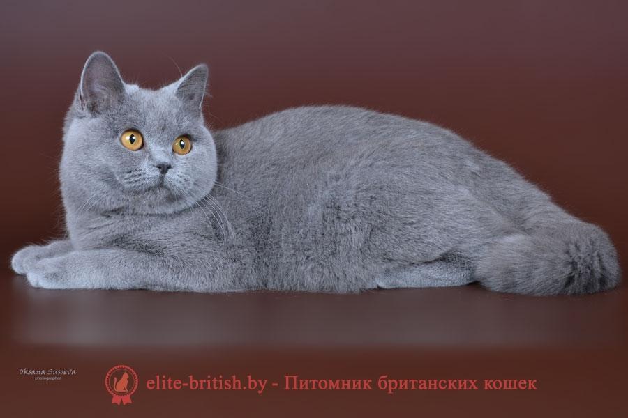 показать британских кошек