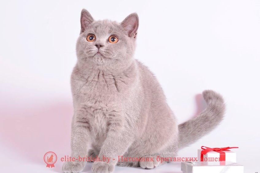 Все о британской породе кошек: фото и описание, характер, цена, окрасы, отзывы