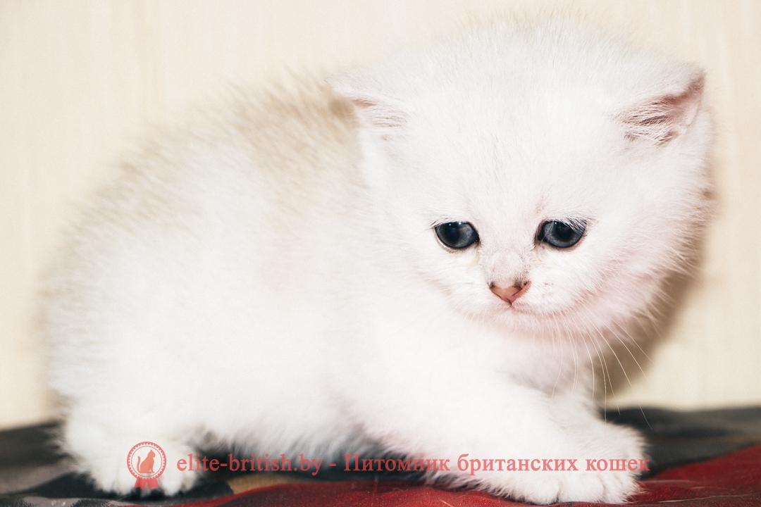 Шиншилла британец, фото британского котенка шиншиллы серебристой