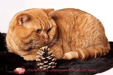 Кот злой британец