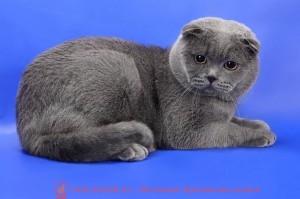 Британский серый вислоухий кот фото