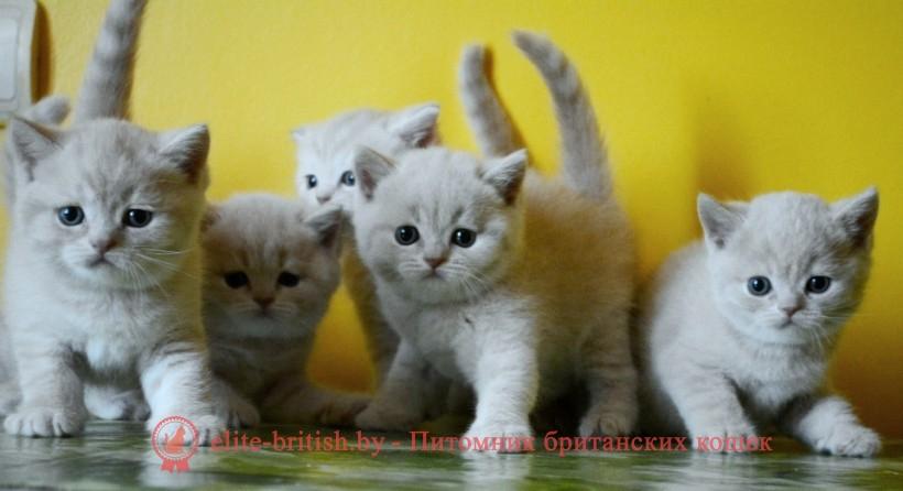 Какие бывают британские котята фото
