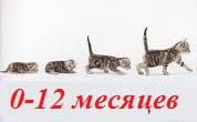 во сколько месяцев меняются зубы у котят Курильский бобтейл, фото, описание породы, стандарты.