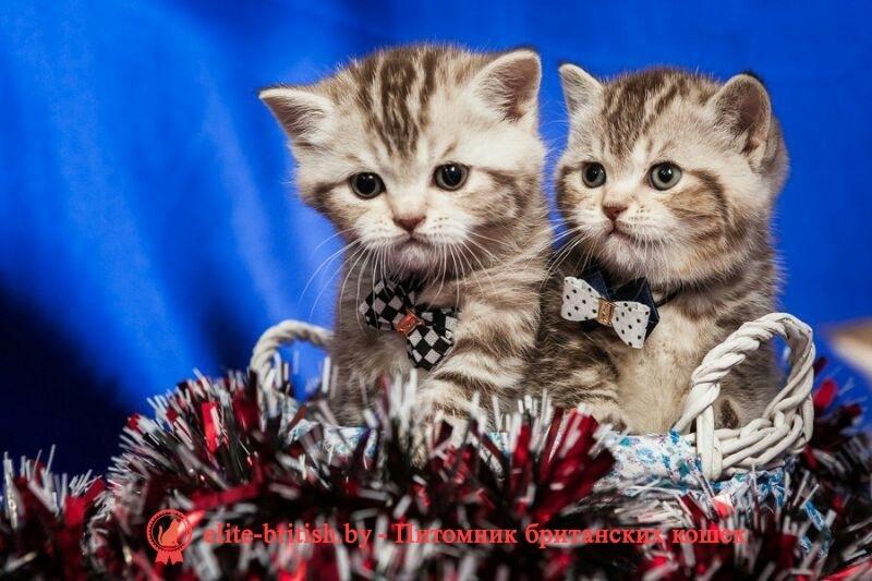 британские котята в минске недорого, купить британца в минске недорого, купить котенка британца недорого, британские котята недорого, недорогие британские котята, куплю британского котенка недорого, британские котята без родословной, продам британского котенка недорого, британские котята без родословной цена британцы недорого купить британца недорого котята британцы недорого британские вислоухие котята недорого британские вислоухие котята купить недорого купить недорого британца вислоухого британские котята дешево продажа британских котят недорого британские котята без документов купить британского котенка без документов купить недорого британца вислоухого