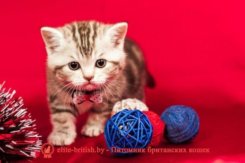 Британские коты минск цена