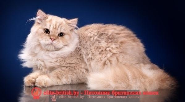 британская длинношерстная кошка фото