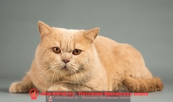 Окрасы британских кошек: фото, стандарты. Виды окрасов ...: http://elite-british.by/okrasy-britanskih-koshek/