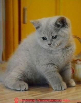 лиловый британец, фото лиловых британцев, британец лиловый фото, британский лиловый котенок, фото лиловых британских котят, британские котята фото лиловые, британские коты лилового окраса фото, британская кошка фото лиловая, фото лиловой британской кошки, британские котята лилового окраса фото, лиловая британская кошка, британские котята лилового окраса, британский лиловый кот фото, лиловый британский кот, лиловый окрас британских кошек фото, кот британец лиловый фото, британец лилового цвета, лиловый окрас британских кошек, британцы лилового окраса, британец лилового окраса фото, лиловый цвет британских кошек, британские котята лилового цвета, лиловый цвет британских кошек, британские котята лилового цвета, британская короткошерстная кошка лиловая, котята британцы лиловые фото, лиловые британцы котята, британцы коты лиловые, британский кот лилового окраса, британская кошка лилового окраса фото, британские котята лилового окраса фото, британцы лилового окраса фото, британский кот лилового окраса фото, куплю котенка, купить котенка, котята в минске, купить кота, купить кошку, купить в минске котенка, куплю котенка в минске, британская купить, куплю британского котенка, купить британского котенка, продажа котят, британские котята в минске, котята британцы, котенок цена купить, британского котенка в минске, куплю британского котенка в минске, котята в беларуси, продам котят, британские цена, продажа британских котята объявления, объявления котята, британские котята в дар, британские котята в дар, продажа котят в минске, британские котята, котята продажа, продажа британских котят, котята британцы купить, куплю котёнка британца, купить котенка в беларуси, котята купить, недорого котята в минске, недорого купить британскую короткошерстную, породистые котята в дар, породистые котята в минске, британские коты в минске, куплю британского кота, британский кот купить, котята короткошерстные купить, куплю котенка короткошерстного, котята британцы в минске, купить котенка в минс