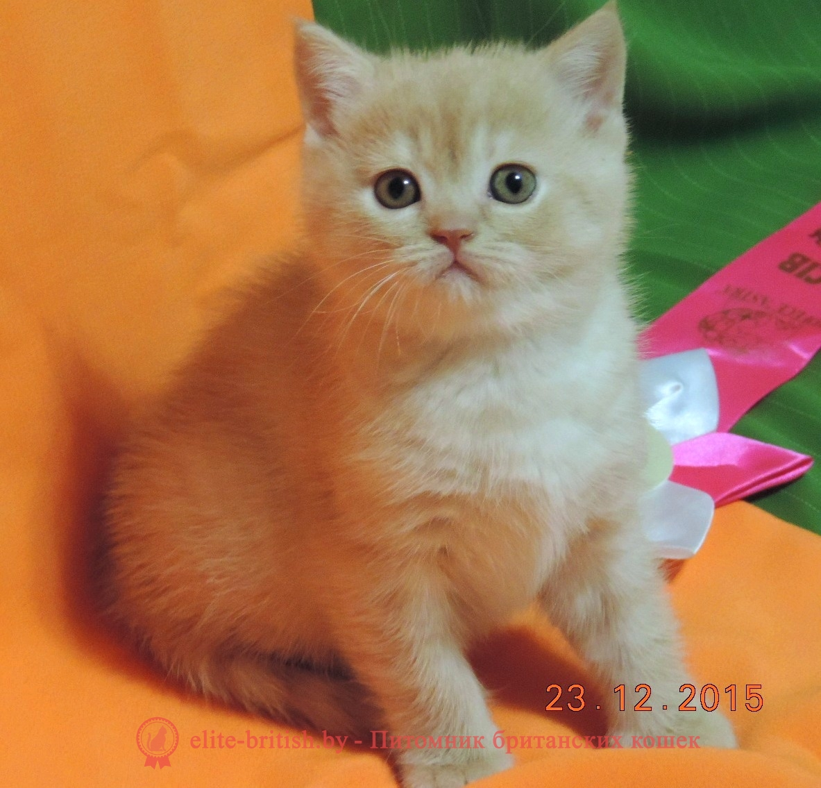 бежевые британцы, бежевый британец фото, кошки британские бежевые, бежевые британские коты, британские котята кремовые фото, британские кремовые коты фото, кремовый британец фото, британские котята кремового окраса фото, британец персикового цвета фото, британские котята персиковые фото, британские персиковые котята, британец персиковый, британец персиковый фото, британцы персикового окраса, британские котята кремового окраса, кремовый окрас британских кошек, британцы кремового окраса, британский кот кремового окраса, британская кошка кремовый окрас фото, британские котята кремового окраса фото, затушеванный британец, серебристый затушеванный британец, кошки британские серебристые, британская короткошерстная окраса серебро, купить британского котенка в минске, купить в минске котенка британца, купить британского котенка, британские котята в гомеле купить, купить британского котенка в могилеве, купить британского котенка в витебске, купить британского котенка в бресте, купить кота британца в минске, купить британского котенка в гродно, купить британца в барановичах, купить британского котенка в бобруйске, купить британца в минске, британец купить, купить вислоухого британца, британский кот купить в минске, купить британского котенка в беларуси, купить британского котенка в барановичах,  купить британского котенка в пинске, купить котенка британца, купить котенка британца в могилеве, британская кошка купить в минске,  купить британского котенка в мозыре, британец вислоухий купить в минске, купить британского котенка в молодечно, купить британского котенка в полоцке, купить котенка британца в витебске, купить британца в минске недорого, купить британца в могилеве, купить британца в бресте, купить британского котенка в жлобине, купить кота британца, купить британского плюшевого котенка, купить британского котенка в новополоцке, купить кота британца в гомеле, купить котенка британца в гомеле, купить британского кота, купить британского котенка в орше, купить британца в в