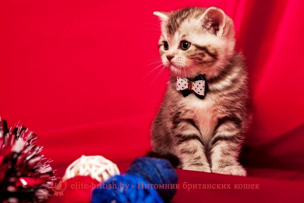 купить британского котенка в минске, купить в минске котенка британца, купить британского котенка, британские котята в гомеле купить, купить британского котенка в могилеве, купить британского котенка в витебске, купить британского котенка в бресте, купить кота британца в минске, купить британского котенка в гродно, купить британца в барановичах, купить британского котенка в бобруйске, купить британца в минске, британец купить, купить вислоухого британца, британский кот купить в минске, купить британского котенка в беларуси, купить британского котенка в барановичах,  купить британского котенка в пинске, купить котенка британца, купить котенка британца в могилеве, британская кошка купить в минске,  купить британского котенка в мозыре, британец вислоухий купить в минске, купить британского котенка в молодечно, купить британского котенка в полоцке, купить котенка британца в витебске, купить британца в минске недорого, купить британца в могилеве, купить британца в бресте, купить британского котенка в жлобине, купить кота британца, купить британского плюшевого котенка, купить британского котенка в новополоцке, купить кота британца в гомеле, купить котенка британца в гомеле, купить британского кота, купить британского котенка в орше, купить британца в витебске, вислоухий британец купить в гомеле, купить кота британца в бресте, купить британского короткошерстного котенка, купить британские котята шиншиллы, купить британца в гомеле, купить кота британца в могилеве, британский вислоухий котенок купить, купить британца в москве, британские кошки купить, британский вислоухий кот купить, купить котенка британца недорого, купить британскую короткошерстную кошку, британская вислоухая кошка купить,  британские котята купить из питомника, британские котята серебристая шиншилла купить, купить короткошерстного британца, купить британца в смоленске, британская длинношерстная кошка купить, британские котята фото купить, купить котенка британской породы, купить британского котенка дешево