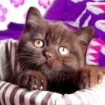 шоколадные британцы фото, британские кошки шоколадного окраса фото, британские шоколадные котята фото, британские кошки шоколадный окрас, шоколадный британец, британская шоколадная кошка фото, британский шоколадный кот фото, купить британского котенка шоколадного окраса,котенок британец шоколадный, шоколадные британцы котята фото, шоколадная британская кошка, шоколадный британский кот, британские коты шоколадного окраса, британские коты шоколадного окраса фото, британские котята шоколадного окраса фото, британец кот шоколадный, шоколадный британский котенок, британский котенок шоколадного окраса, шоколадные британские котята купить, британский вислоухий шоколадный котенок, купить шоколадного котенка британца, кошки британцы шоколадные, шоколадные британцы купить, британцы окрас шоколадный, британец шоколадного цвета, кошки британские коричневые, британские коричневые котята фото, британцы коричневого цвета, британские кошки коричневого окраса, британский кот коричневый, коричневые британские котята, коричневый британец, кот британец коричневый, британские котята